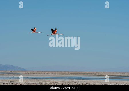 James flamingos (Phoenicoparrus jamesi), also known as the puna flamingos in flight at the Chaxa Lagoon, Soncor section of Los Flamencos National Rese - Stock Photo