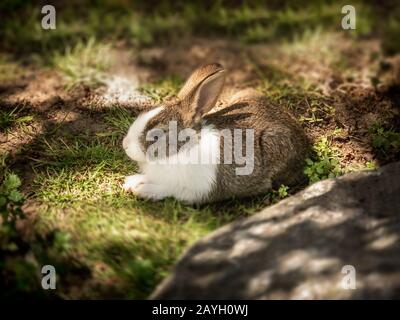 Cute and furry small young baby pet rabbit lying down in natural green grass and soil outside in countryside backyard farm garden in sunshine - Stock Photo