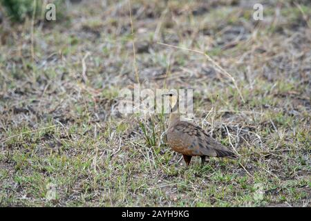 A yellow-throated sandgrouse (Pterocles gutturalis) is looking for food in the grasslands of the Masai Mara National Reserve in Kenya. - Stock Photo