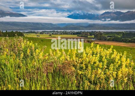 Russell lupines, Murchison Mountains, Fiordland National Park, Te Anau in dist, from Ramparts Road, Southland Region, South Island, New Zealand