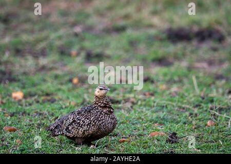 A female yellow-throated sandgrouse (Pterocles gutturalis) in the grasslands of the Masai Mara National Reserve in Kenya. - Stock Photo