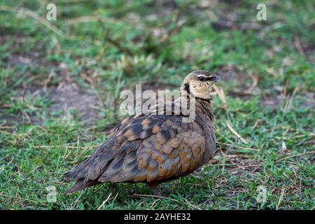 A male yellow-throated sandgrouse (Pterocles gutturalis) in the grasslands of the Masai Mara National Reserve in Kenya. - Stock Photo