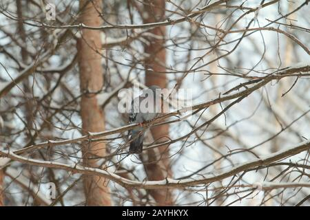 City pigeons sit on a pine branch. Urban wildlife. Beautiful animal. - Stock Photo