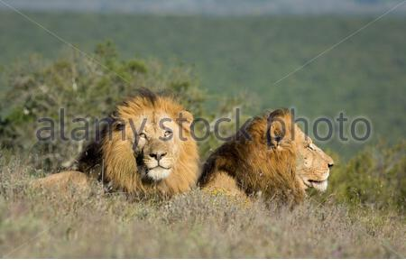Two male lions resting in Addo Elephant National Park, Eastern Cape, South Africa - Stock Photo