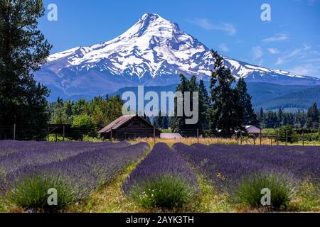 Scenic view of Mt Hood from Lavender Valley farm, Oregon - Stock Photo