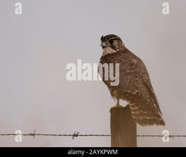 A wild female Merlin (falco columbarius) perched on wooden post scanning for prey, Northumberland - Stock Photo
