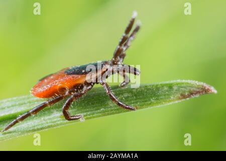 European castor bean tick, European sheep tick (Ixodes ricinus), lurking at the top of a blade of grass, stretches its front legs, Germany, Bavaria, Niederbayern, Lower Bavaria