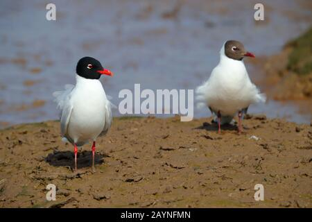 Adult breeding/summer plumage Mediterranean Gull (Ichthyaetus melanocephalus) and Black-headed Gull (Chroicocephalus ridibundus) in Norfolk, UK - Stock Photo