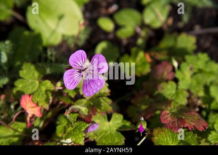 Geranium pink penny - Stock Photo