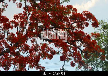 Flame tree or flamboyan (Delonix regia) in Bayamo city, southern Cuba - Stock Photo