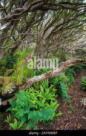 Ferns growing in the Rata forest on Enderby Island, a sub-Antarctic Island in the Auckland Islands archipelago, New Zealand. - Stock Photo