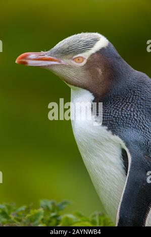 Portrait of a Yellow-eyed penguin (Megadyptes antipodes) on Enderby Island, a sub-Antarctic Island in the Auckland Island group, New Zealand.