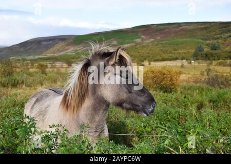 Icelandic horse on a field, close up - Stock Photo