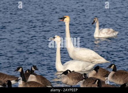 Trumpeter swans (Cygnus buccinator) and canada geese (Branta canadensis) in a lake, Iowa, USA.