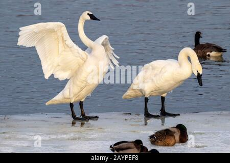 A pair of trumpeter swans (Cygnus buccinator) on ice of a freezing lake, Iowa, USA.