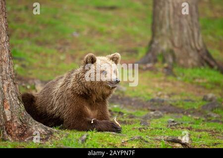 Eurasian brown bear (Ursus arctos arctos) feeding - Stock Photo