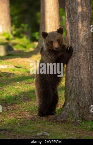 Eurasian brown bear (Ursus arctos arctos) standing against a tree - Stock Photo