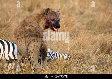A Spotted hyena (Crocuta crocuta) is feeding on a zebra they killed in the grassland in the Masai Mara National Reserve in Kenya. - Stock Photo