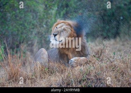 A male lion (Panthera leo) is shaking off water during a rainstorm in the Masai Mara National Reserve in Kenya. - Stock Photo