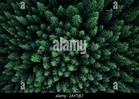 Pine tree tops seen from a drone - Stock Photo