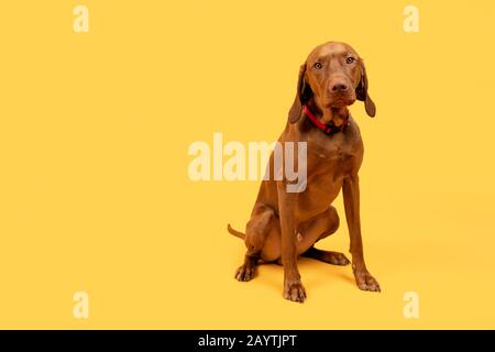 Cute funny hungarian vizsla dog full body studio portrait. Funny dog sitting and looking at camera, front view over bright yellow background. - Stock Photo