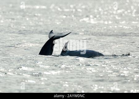Bottlenosed dolphin, Common bottle-nosed dolphin (Tursiops truncatus), two submerging common bottlenose dolphins, United Kingdom, Scotland, Black Isle, Chanonry Point - Stock Photo