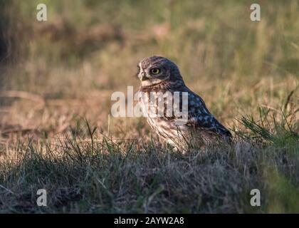Owl little (Athene noctua), sitting on the ground, Hortobágy National Park, Hungary