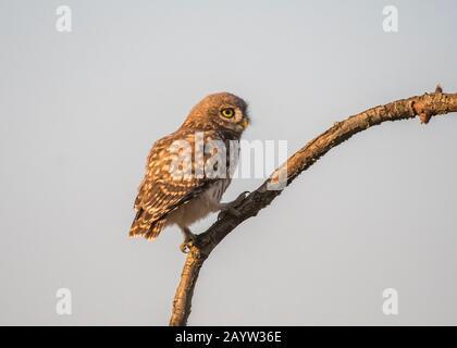 Owl little (Athene noctua), sitting on a branch, Hortobágy National Park, Hungary