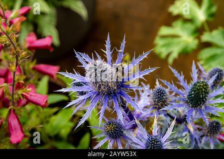 Sea Holly Eryngium - Stock Photo