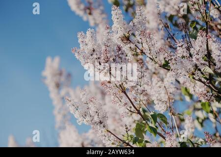 Spring concept. Beautiful lilac against blue sky background. Close up shot of purple spring flowers. Blooming and nature concept.