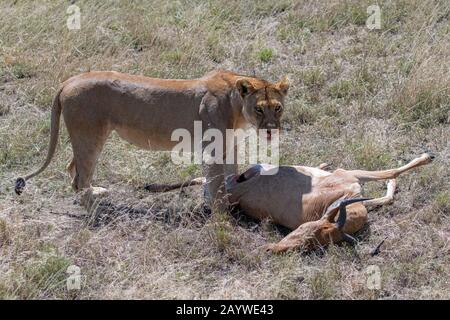 lions who killed an antelope and are eating it in the savannah in Tanzania - Stock Photo