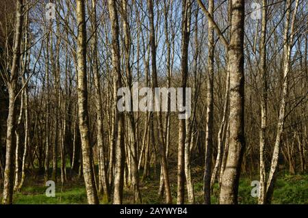 Betula pendula, Silver Birch woodland, Wales, UK. - Stock Photo