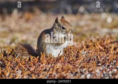 Red Squirrel (Tamiasciurus hudsonicus) feeding on sunflower seeds dropped from a bird feeder, Cherry Hill, Nova Scotia, Canada, - Stock Photo