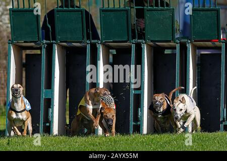 Whippet Dogs running, Racing at Track - Stock Photo