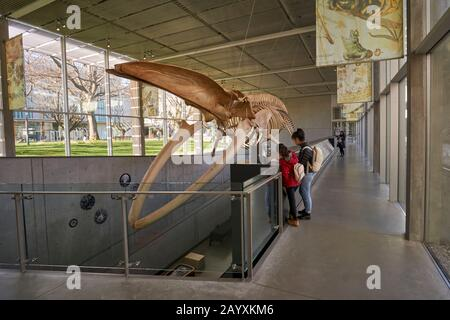 People next to the complete blue whale skeleton, Beaty Biodiversity Museum at the University of British Columbia,  Vancouver, BC, Canada - Stock Photo
