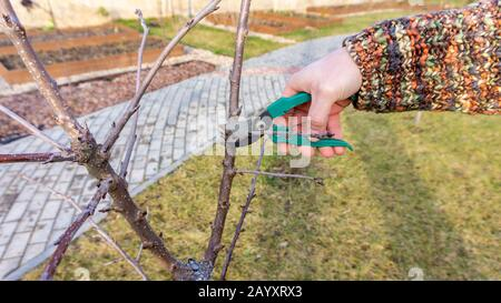 Bright spring photo of pruning a sweet cherry fruit tree process using a secateurs. A gardener is pruning a young orchard. Seasonal garden work on the - Stock Photo