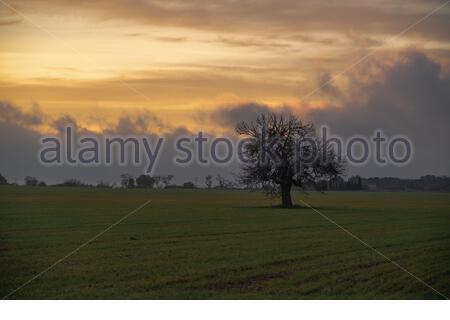 Leafless tree in the middle of a tilled field as the sun goes down - Stock Photo