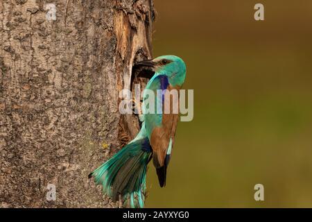 European roller,  Coracias garrulus, sitting outside his nest, Kiskunsági Nemzeti park, Hungary - Stock Photo
