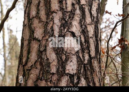 Close up view of bark of pinus negra tree - Stock Photo