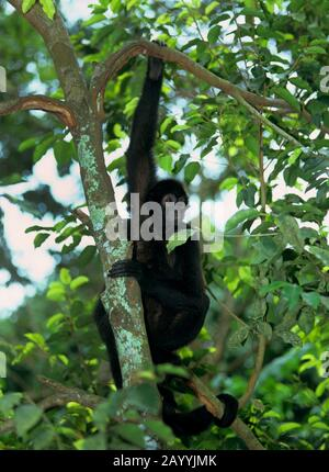 black spider monkey (Ateles paniscus), young animal sitting on a branch in a tree - Stock Photo