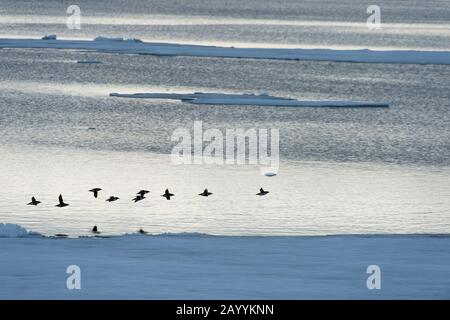 A flock of Thick-billed murres or Brünnich's guillemot (Uria lomvia) flying over the pack ice north of Svalbard, Norway. - Stock Photo