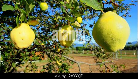 Quinces (an autumn fruit) ripening on a tree in late summer 2020 - Stock Photo