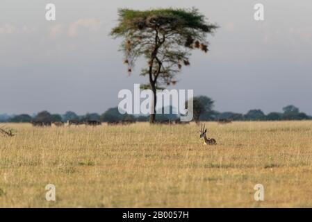 Tarangire landscape with Weaver bird nest in the tree and a Thomson's gazelle resting in the evening sun. - Stock Photo