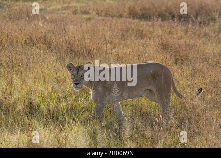 Lioness in the golden light of the Serengeti National park