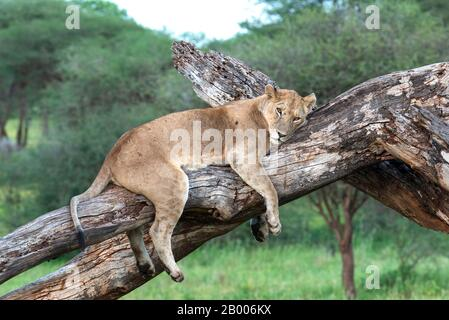 Lazy Lioness resting on this dead tree in the Serengeti