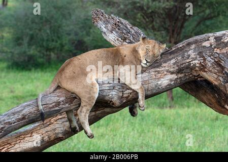 Lazy Lioness having a nap on this dead tree in the Serengeti NP - Stock Photo