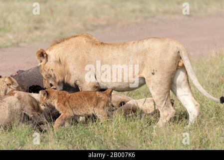 Young male Lion joining in the meal with the cub s and Lionesses. Serengeti NP
