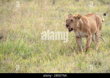 Lions of the Serengeti - Stock Photo