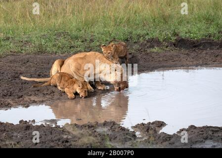 Lioness with her two cubs at the water edge
