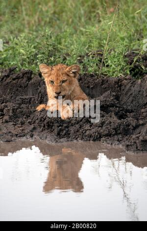 Lion cub reflected in the overnight puddle